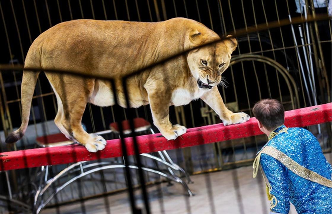 Владелец цирка на Кубани, где львица покусала ребенка, получил год колонии
