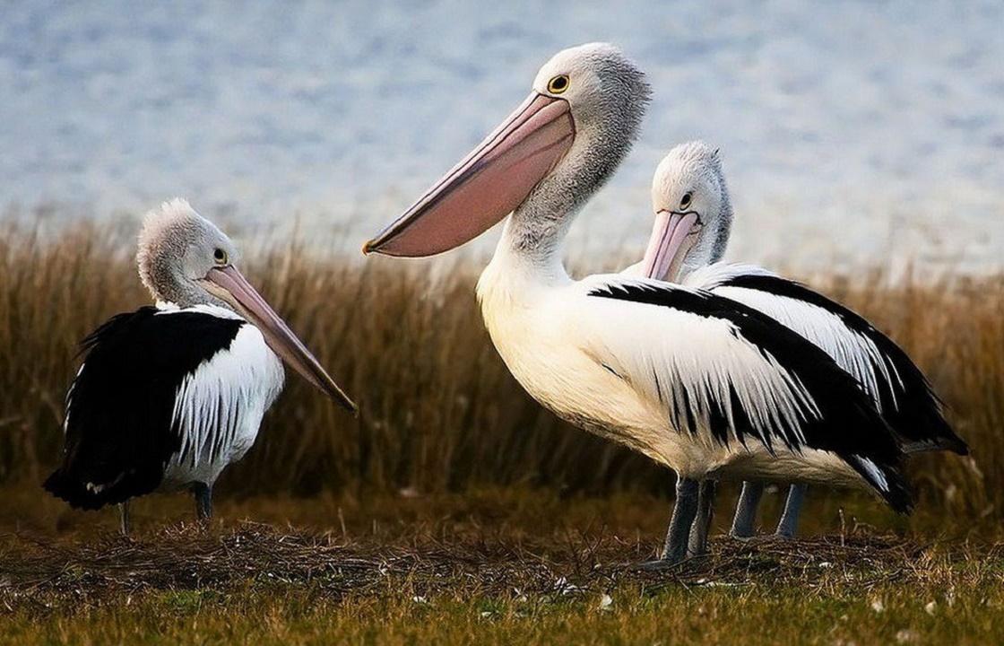 СКР ведет проверку из-за гибели пеликанов в Дагестане