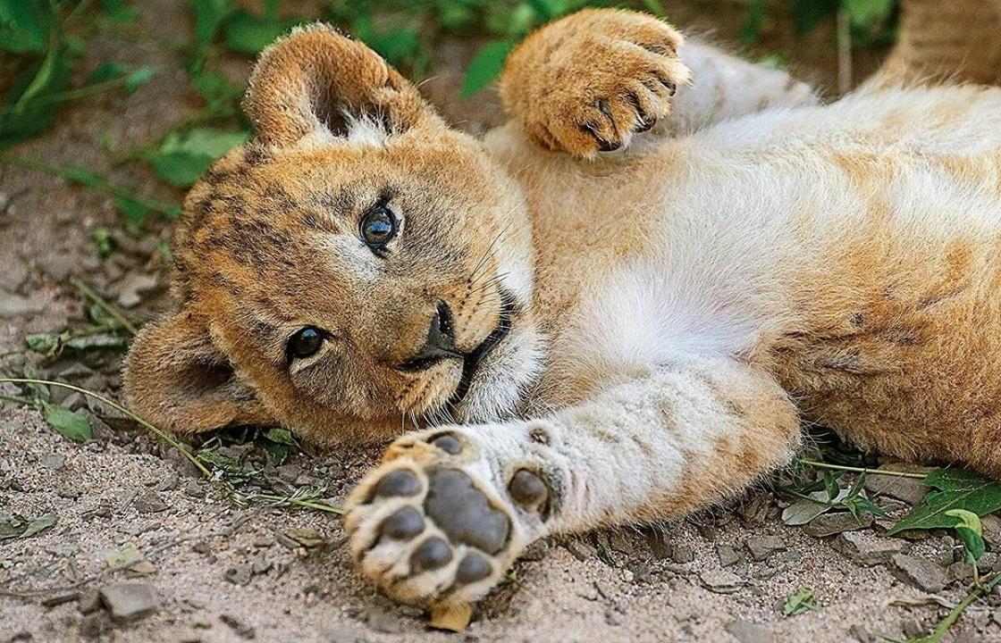 Издевавшийся над львенком краснодарец получил ограничение свободы