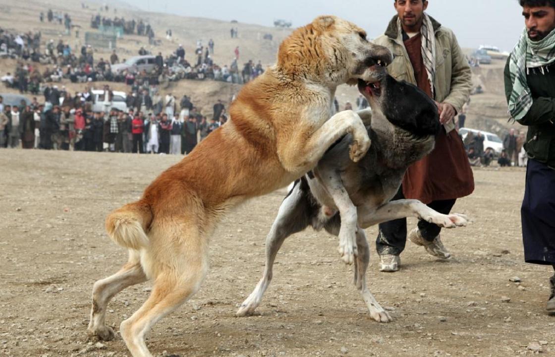 Собачьи бои или испытания? Новый скандал на Ставрополье